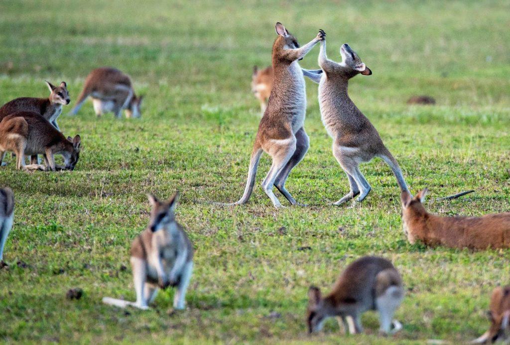 australia-naturaleza-inigualable-canguro