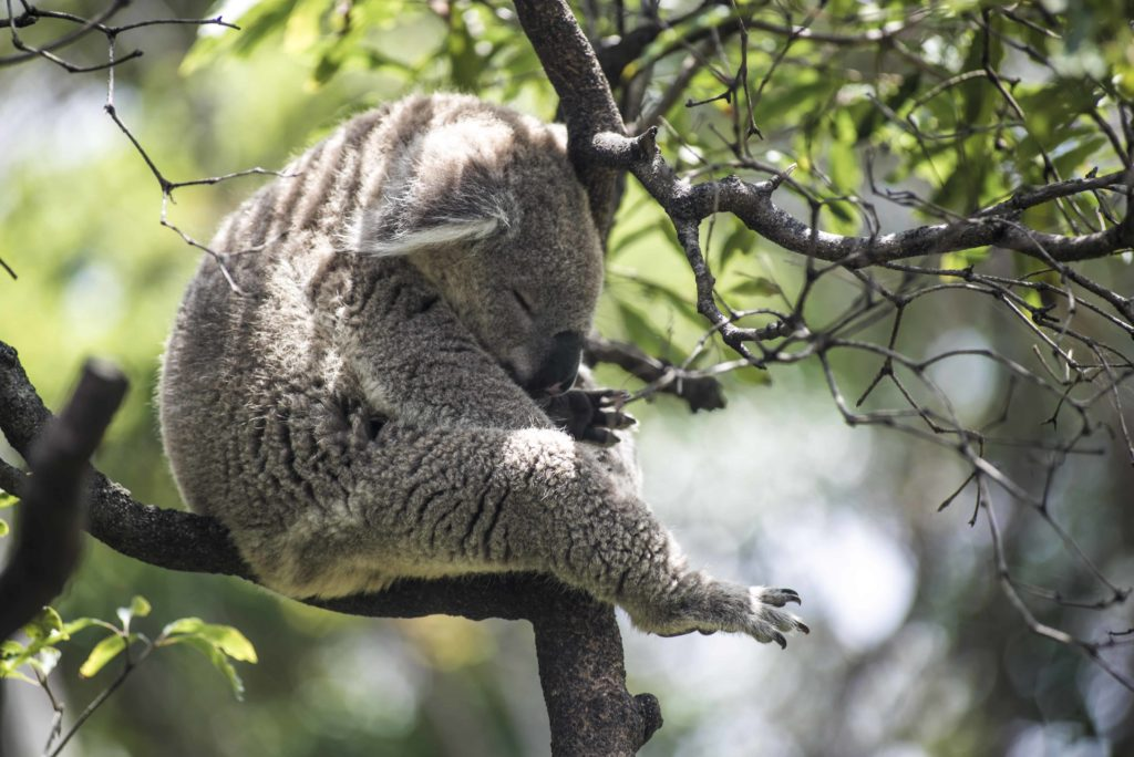 australia-naturaleza-inigualable-koala